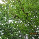 境内の植栽(梅)の様子