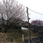 梅の花が咲きました