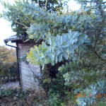 ミモザの木の様子
