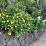 境内の植栽(ビョウヤナギ)