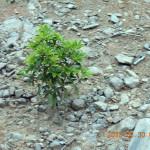 境内の植栽(しきみ)