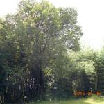 境内の植栽(サクラ)