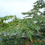 成長の早い木(草?)