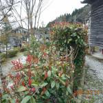 境内の植栽(ベニカラメ)