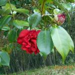 境内の植栽(ツバキ)