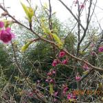 境内の植栽(ヤマサクラ)