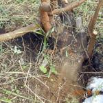 センダンの木の根