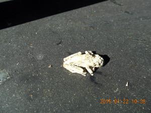 カエルのミイラ