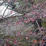 境内の梅の木の様子
