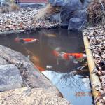 涅槃池の鯉(午後)の様子
