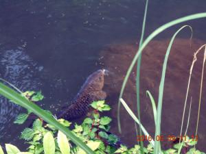 ホタル池の鯉の様子