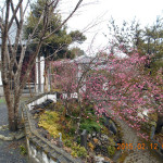 境内の植栽(梅)
