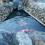 涅槃池の鯉たち(水が澄んでいます)