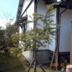 ミモザの木の補強