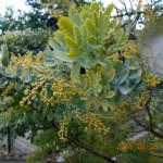 植栽の様子(ミモザの木)