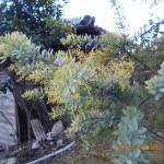境内の植栽(ミモザの木)
