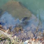 ホタル池の鯉