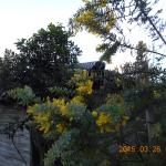境内の植栽(ミモザ)