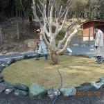 芝生の植付後の水まき