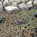 ホテイ草の除去