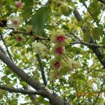 植栽の様子(緑の桜)