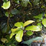 植栽の様子(キンモクセイ)