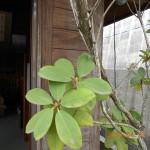 植栽の様子(シャクナゲ)