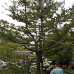 植栽の様子(松)