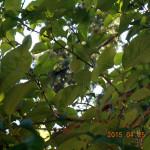 境内の植栽(梅の実)