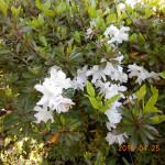 境内の植栽(つつじ)