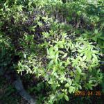 境内の植栽(さつき)