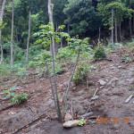 植栽の様子(センダン)