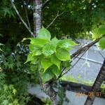 植栽の様子(ミドリノサクラ)