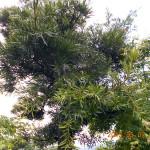 植栽の様子(マツ)
