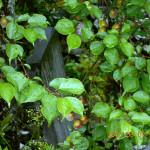 植栽の様子(梅)