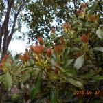 植栽の様子(ジンチョウゲ)