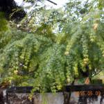 植栽の様子(モミジ)