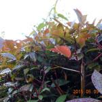 植栽の様子(ツバキ)