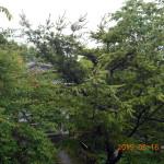 境内の植栽(マツ)