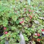 境内の植栽(ヘビイチゴ)