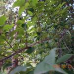 境内の植栽(ウメ)