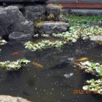 涅槃池の鯉たち様子