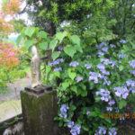 境内の植栽の様子(アジサイ)