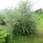 境内の植栽の様子(レモンの木)