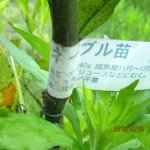 境内の植栽(ネーブル)