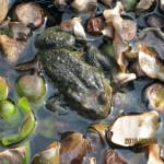 涅槃池のカエル