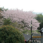 境内の植栽(桜)