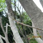 植栽の様子(ヤマモモ)