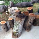 ケヤキの木
