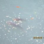 ホタル池の様子(鯉たち)